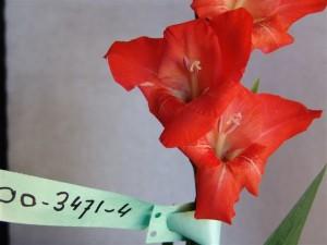 Gladiolen veredeling