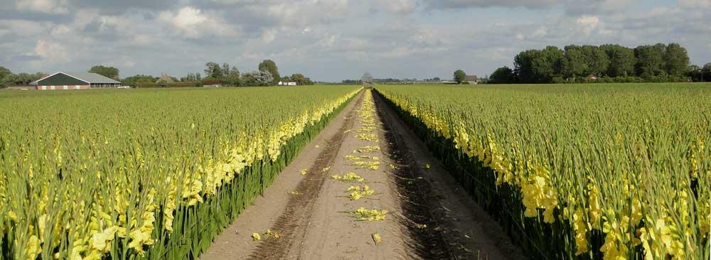 Gele Gladiolen Noord-Holland